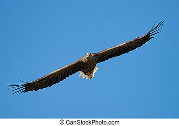 White-tailed eagle (Haliaeetus albicilla) - White-tailed...