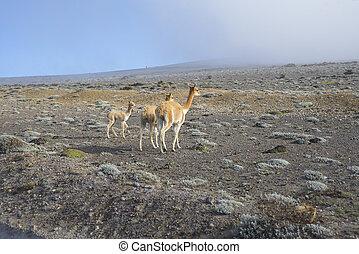 Llamas in the Ecuadorian Andes - Domestic alpacas or llamas...