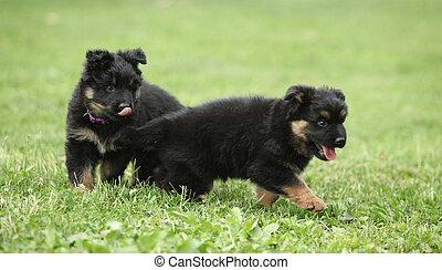 Adorable puppies of Bohemian Shepherd in the garden