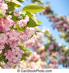 spring blossom of purple sakura against blue sky