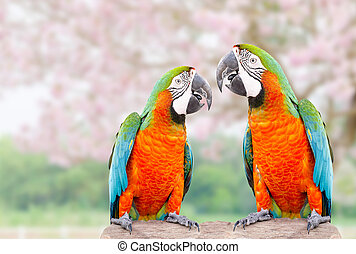 Two parrot standing on dry tree with pink flower background