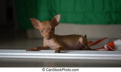 Cute miniature pinscher puppy - Closeup of cute miniature...