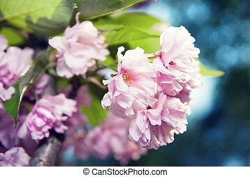 flor, primavera, roxo,  sakura