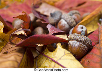 acorns with autumn leaves
