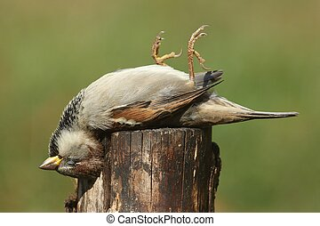 Dead House Sparrow (Passer domesticus) on a stump