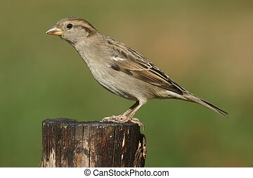 House Sparrow (Passer domesticus) - Female House Sparrow...