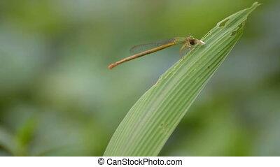 Dragonfly eating prey, Kolkata, West Bengal, India - stock...