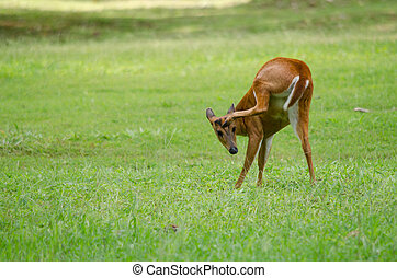 red muntjac live in grassland ,thailand - The red Muntjac is...