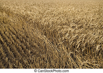 hayfield wheat background