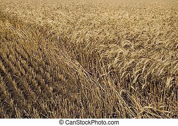 hayfield wheat background