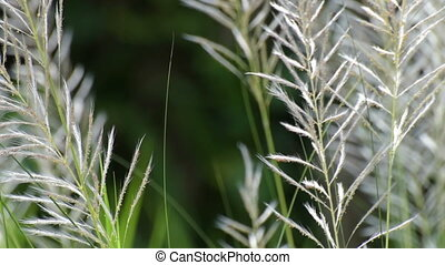 Kans grass (Saccharum spontaneum) moving freely in autumn...