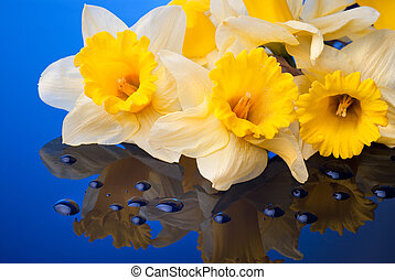 yellow narcissus on blue background with water drops
