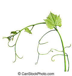 vine rod isolated on whine