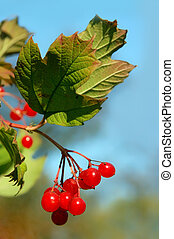 red viburnum berry