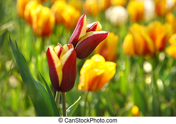 Beautiful red with yellow tulips in garden