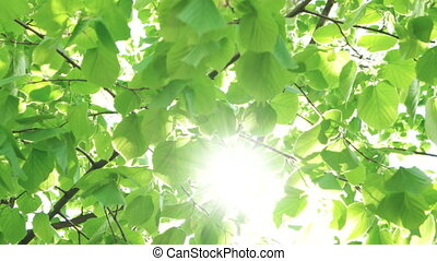 Wind blowing vibrant leaves - Beautiful spring leaves of...