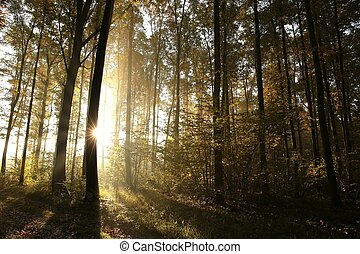 Autumn forest at sunrise - Autumn deciduous forest at...