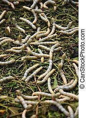 Silkworms in silk farm, Siem Reap, Cambodia