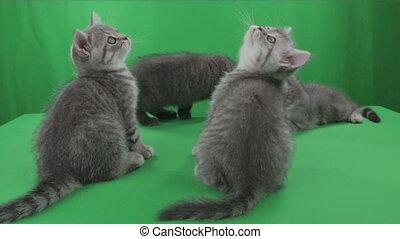 Beautiful little kittens Scottish Fold on Green Screen stock...