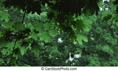 green tree branches under the falling rain - Rain in forest....