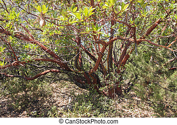 red papery bark of Arbutus - Beautiful red papery bark of an...