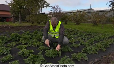 Gardener weeding strawberries