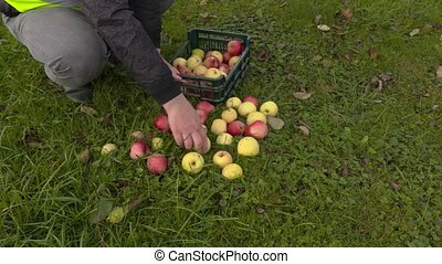 Worker put apples in plastic box