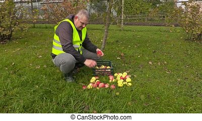 Worker sorting apples in garden