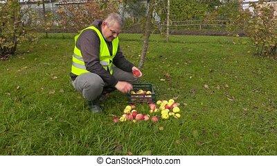 Worker sorting apples in garden