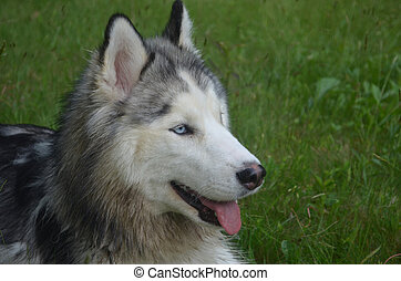 Loveable Siberian Husky Dog - Very pretty Siberian husky dog...