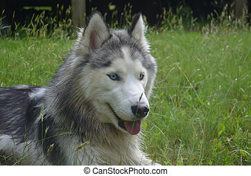Sweet Loveable Siberian Husky Dog - Great looking siberian...