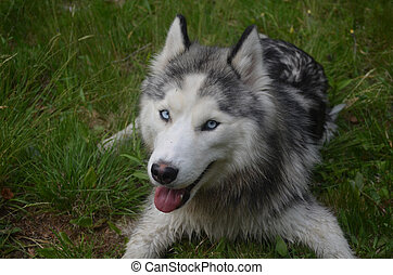 Happy Go Lucky Siberian Husky - Very happy Siberian husky...