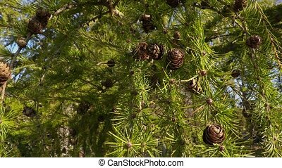 Pinecone on pine tree in autumn