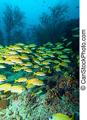 School of Yellow Fishes, Maldives - School of Blue striped...