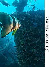 Big Bat Fish and shipwreck - Closeup of Big Bat Fish near...