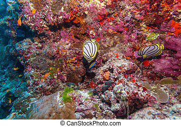 Pair of Butterfly Fishes in Coral Reef, Maldives - The...