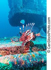 Dangerous Lion Fish near Shipwreck - Devil firefish (Pterois...