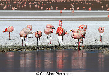 James flamingos, southern Bolivia - James flamingos,...