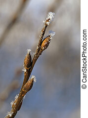 Frosty twig with buds in the early spring, macro shot