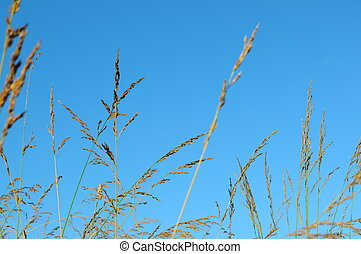 Wheat Grass with Sky