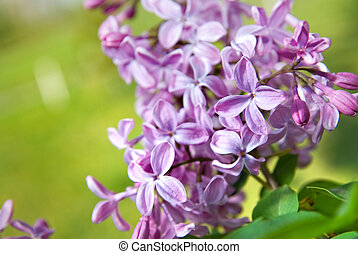 Spring lilac flowers with leaves
