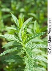 macro photo of green mint