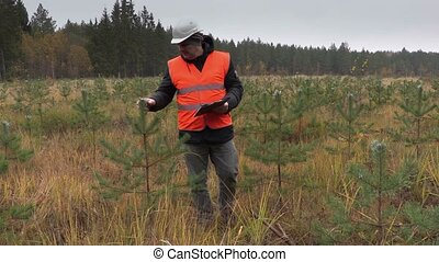 Forester checking new growth pine