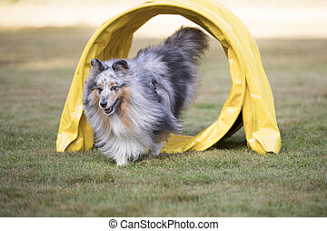 Dog, Shetland Sheepdog, Sheltie running through agility tunnel