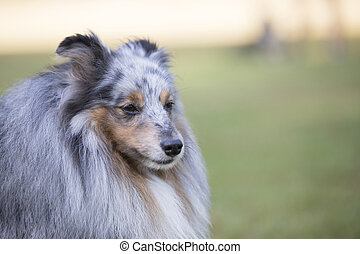 Headshot of a Shetland Sheepdog