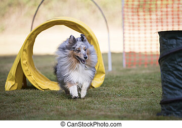 Dog, Shetland Sheepdog, training agility