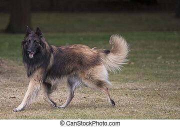 Dog, Belgian Shepherd Tervuren, running in woods