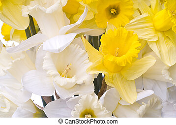 buquet, branca, amarela, narcissus