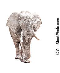 巨大, アフリカ, 隔離された, 背景, 象, 白