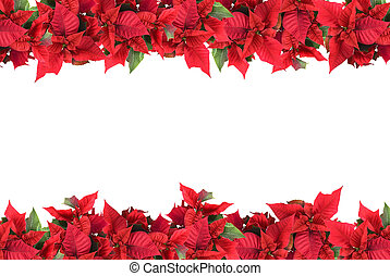 navidad, marco, Poinsettias, aislado, blanco